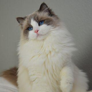 ragdoll katt färger